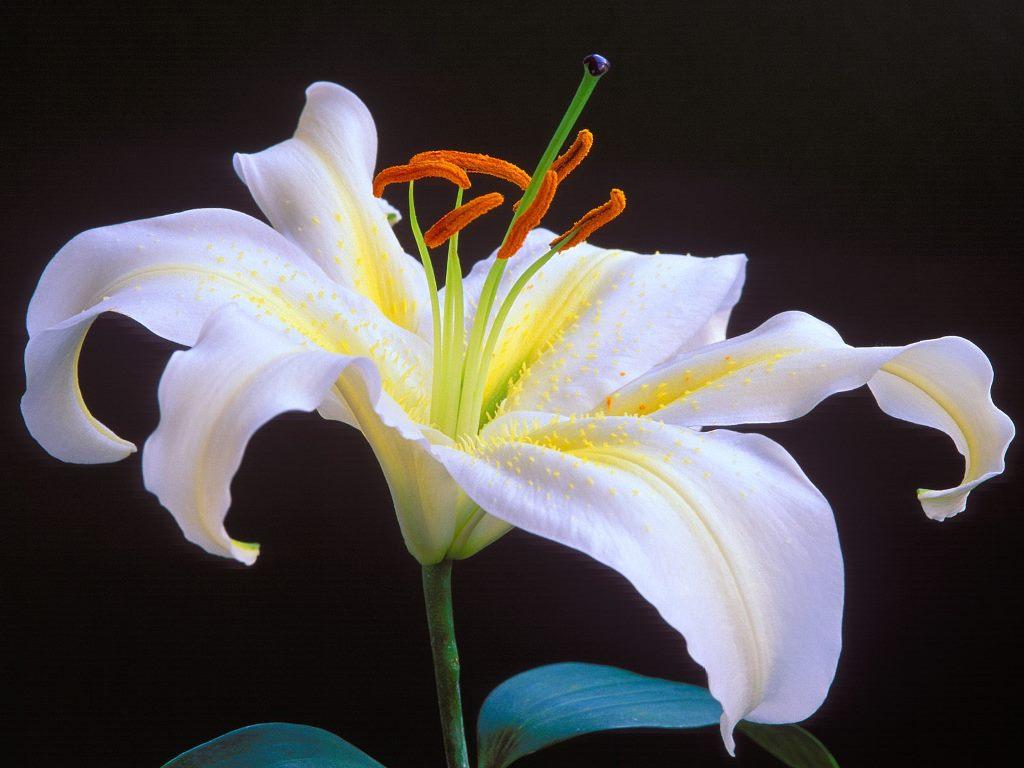 Lilly Pictures Flowers Savingourboysfo